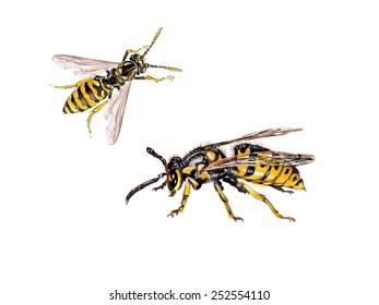 different wasps, Vespula germanica (European wasp, German wasp, or German yellowjacket)