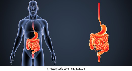 Digestive system anterior view 3d illustration
