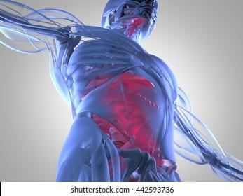 Human Bowel Anatomy Images, Stock Photos & Vectors