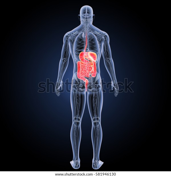 Digestive system posterior view 3d illustration