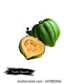 Digital art illustration of Acorn squash, Cucurbita pepo, Pumpkin isolated on white background. Organic healthy food. Green fresh vegetable. Hand drawn plant closeup. Graphic design clip art element
