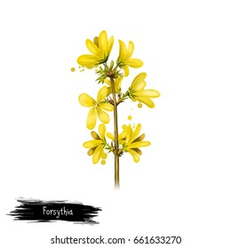 Digital art illustration of Forsythia isolated on white. Hand drawn flowering bush of Oleaceae family. Colorful botanical drawing. Greeting card, birthday, anniversary, wedding graphic clip art design