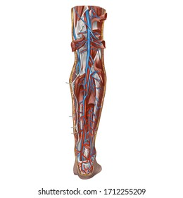 Digital art image color illustration. Anatomy. The cardiovascular system. Veins of the lower limb. Veins and arteries of the lower leg, right. Back surface. Isolated