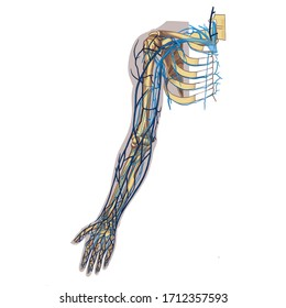 Digital art image color illustration. Anatomy. The cardiovascular system. Veins of the upper limb, arm, scheme.  Isolated