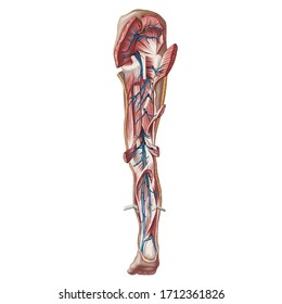 Digital art image color illustration.  Anatomy. The cardiovascular system. Veins and arteries of the lower limb. Lymphatic vessels of the lower limb, deep; back view. Isolated
