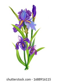 Digital  composition spring bouquet with fresh iris and leaves.  White background.