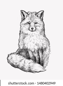 Digital drawing. Realistic graphic illustration of a fox. Vintage style. Black and white sketches of animals.