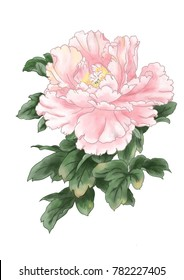 Digital hand painted flower watercolor sweet pink Peony flower with dark green leaves, Isolated image.