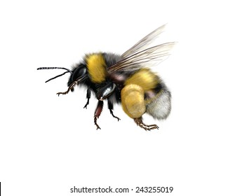 Digital illustration of a buff-tailed bumblebee or large earth bumblebee