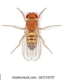 Digital illustration of a fruit fly
