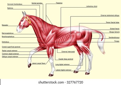 Horse Muscle Anatomy Images, Stock Photos & Vectors | Shutterstock