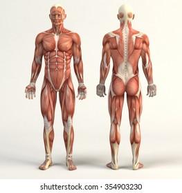 Digital illustration of muscular system