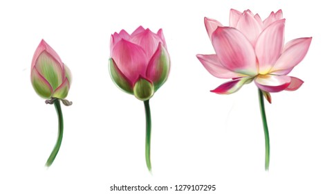 Digital illustration of a pink lotus flower in three stages, from bud to full disclosure. Flowers are isolated on a white background.