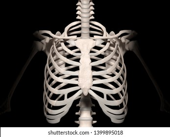Digital medical illustration: Anterior (front) view of the human spine and ribcage (skeleton). 3D rendering