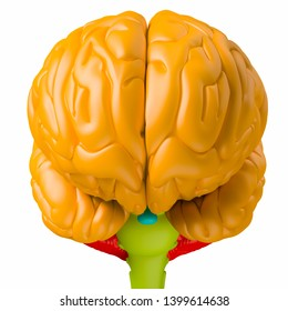 Digital medical illustration depicting the front view of the human brain. Orange: brain lobes. Blue: pituitary gland. Green: brain stem. Red: cerebellum. 3D rendering