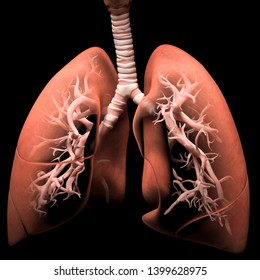 Digital medical illustration depicting the human respiratory system in anterior (front) view. Transparant lungs reveal the trachea and bronchi. 3D rendering