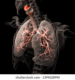 Digital medical illustration depicting the human respiratory system in perspective. Transparent lungs reveal the trachea and bronchi.  3D rendering