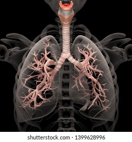 Digital medical illustration depicting the human respiratory system in anterior (front) view. Transparent lungs reveal the trachea and bronchi. 3D rendering