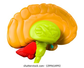 Digital medical illustration depicting the side view of the human brain with the right lobe removed, revealing the brain stem. Orange: brain lobe. Blue: pituitary gland. Green:brain stem. 3D rendering