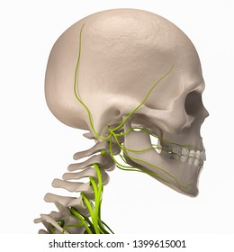 Digital medical illustration depicting the side view of the skull featuring the skeleton, and nerves. 3D rendering