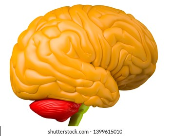 Digital medical illustration depicting the side view of the human brain. Orange: brain lobes. Green: brain stem. Red: cerebellum. 3D rendering