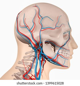 Digital medical illustration depicting the side view of the skull featuring the skeleton, arteries and veins. 3D rendering