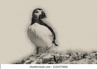 Digital pencil drawing of Beautiful Atlantic Puffin or Common Puffin Fratercula Arctica in Northumberland England
