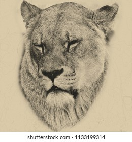 Digital pencil drawing of Beautiful portrait of female African Lion Panthera Leo Leo