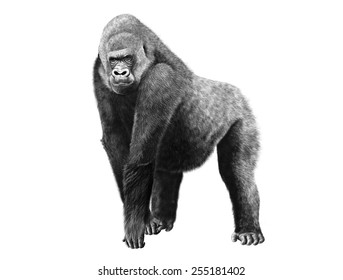 Digital pencil illustration of a gorilla