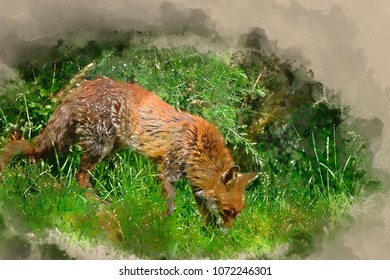 Digital watercolor painting of Beautiful old female vixen fox in long Summer grass