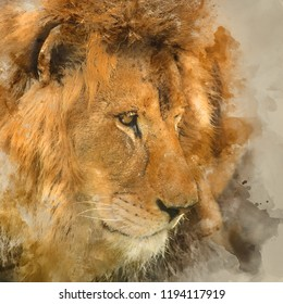 Digital watercolour painting of Stunning intimate portrait image of King of the Jungle Barbary Atlas Lion Panthera Leo