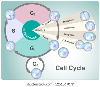 Division cycle of eukaryotic cell divided into four phases: G1, S, G2 and mitosis