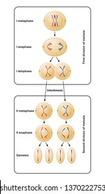 Division of meiosis. Meiosis is divided into meiosis I and meiosis II