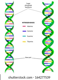 The DNA molecule is a double helix: that is, two long, thin strands twisted around each other like a spiral staircase. A gene is a length of DNA that codes for a specific protein.