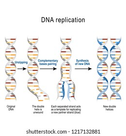 DNA replication. Steps. double helix is unwound. Each separated strand acts as a template for replicating a new strand. Illustration for scientific, medical, and educational use