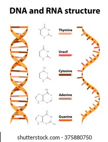 DNA and RNA. structure and differences