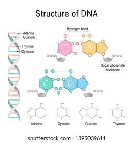 DNA structure. Adenine, Cytosine, Thymine, Guanine, Sugar phosphate backbone, and Hydrogen bond.  diagram for educational, medical, biological, and scientific use