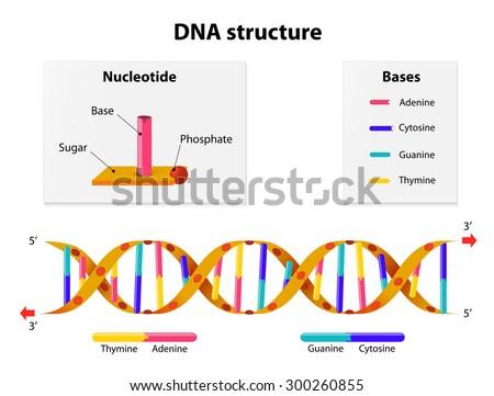 Dna Diagram | Dna Structure Nucleotide Phosphate Sugar Bases Stockillustration