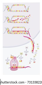 DNA transcription and translation are part of the gene expression. Ribosomes in the cytoplasm synthesize new proteins. No text in the illustration.