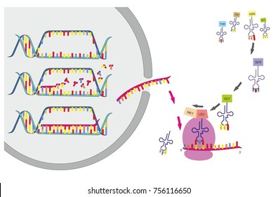 dna transcription translation part gene 260nw 756116650 ribosomes images, stock photos & vectors shutterstock