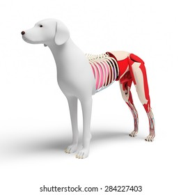 Dog Anatomy Cross-section - isolated on white