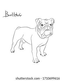 Dog breed English bulldog portrait stay