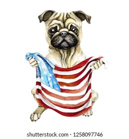 Dog breed pug holding a American flag. Isolated on white background. Politics.
