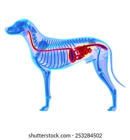 Dog Digestive System - Canis Lupus Familiaris Anatomy
