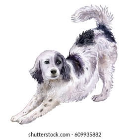 Dog English Setter. Watercolor. Illustration with white background. Black and white Dog is stretch