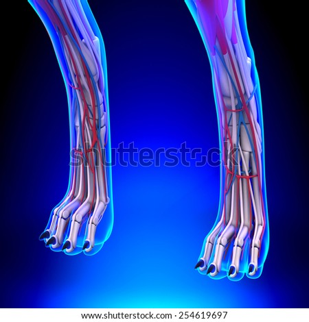 Dog Front Legs Anatomy Circulatory System Stock Illustration