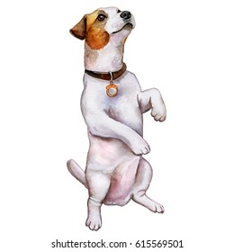Dog Jack Russell sits on his hind legs. Illustration. Watercolor. Image. Picture