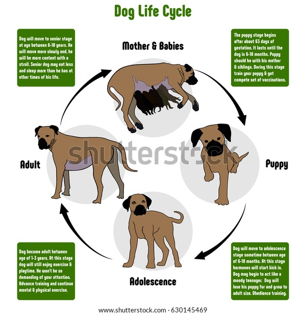 dog life cycle diagram all stages stock illustration 630145469 Dog Uterus Diagram