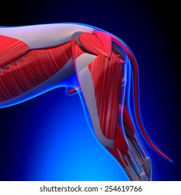 Dog Muscles Anatomy - Back