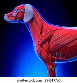 Dog Muscles Anatomy Body